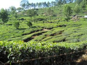 Plantations de thé sur les coteaux de Munnar (1500 m) © ChPL / dec 2013